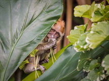 Macaque de cauda longa do bebê que esconde atrás da folha Imagem de Stock