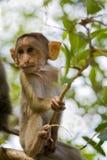 Macaque de chéri Photo stock
