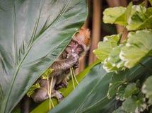 Macaque de cola larga del bebé que oculta detrás de la hoja Imagen de archivo
