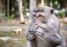 Macaque de cola larga en la isla de Bali imágenes de archivo libres de regalías