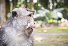 Macaque de cola larga en la isla de Bali fotos de archivo