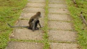 Macaque de cola larga, parque nacional de Bako, Borneo, Sarawak, Malasia almacen de metraje de vídeo