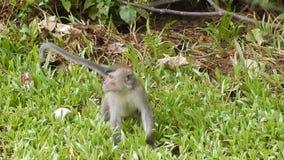 Macaque de cola larga, parque nacional de Bako, Borneo, Sarawak, Malasia metrajes