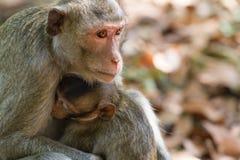 Macaque de Crabe-consommation de mère alimentant son bébé Photos libres de droits
