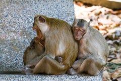 Macaque de Crabe-consommation de mère alimentant son bébé Images libres de droits