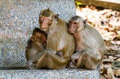 Macaque de Crabe-consommation de mère alimentant son bébé Photo stock
