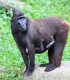 Macaque de Cresed Imagem de Stock Royalty Free