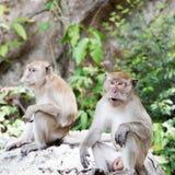 Macaque de famille, singe Photographie stock