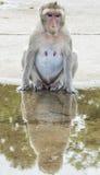 Macaque de la cola larga Imagenes de archivo