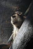 Macaque de la coleta Imagenes de archivo