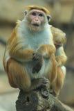 Macaque de la toca Fotografía de archivo libre de regalías
