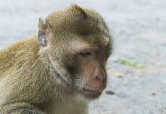 Macaque de long arrière Image libre de droits