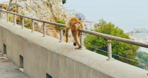Macaque de marche de Barbarie banque de vidéos