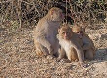 Macaque de Rehsus Foto de archivo libre de regalías