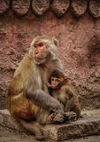 Macaque de rhésus avec son petit à Varanasi, Inde Photo libre de droits