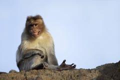 Macaque de rhésus ou singe excepté ses dents, maharashtra, Inde image stock