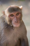 Macaque de rhésus se reposant au fort de Tughlaqabad, Delhi, Inde Photographie stock libre de droits