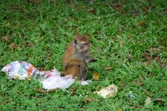 Macaque de toque Photos stock