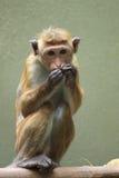 Macaque de toque Photos libres de droits
