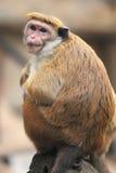 Macaque de toque Photographie stock