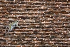 Macaque de toque - sinica de Macaca, Sri Lanka photos libres de droits