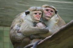 Macaque de visages rouges (fuscata de Macaca) avec le bébé Images libres de droits
