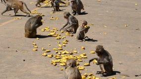 Macaque del macaco de la India metrajes