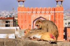 Macaque del macaco de la India que pone en una pared cerca de Suraj Pol en Jaipur, Rajast foto de archivo