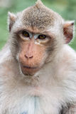 Macaque del mono Foto de archivo libre de regalías