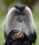 Macaque dell'infante e della madre Fotografie Stock