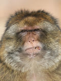 Macaque di Barbary Immagine Stock