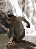 Macaque di cofano Fotografia Stock Libera da Diritti