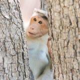 Macaque di cofano indiano Immagine Stock