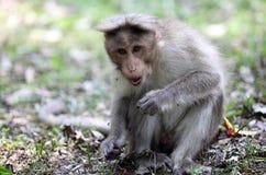 Macaque di cofano nel Kerala Immagine Stock