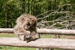Macaque di sonno Barbary Fotografie Stock