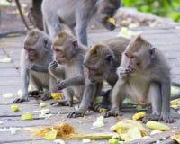 Macaque die in het Aapbos eten, Ubud Stock Foto's