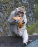 Macaque die Kokosnoot in het Aapbos eten, Ubud Stock Foto