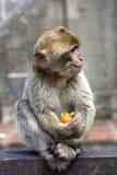 Macaque do bebê com fruto Fotografia de Stock Royalty Free