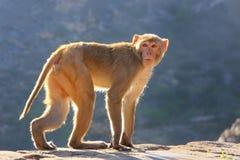 Macaque do Rhesus que anda perto do templo de Galta em Jaipur, Rajasthan, I Fotografia de Stock