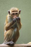 Macaque do Toque Fotos de Stock Royalty Free