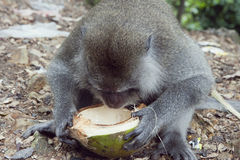 Macaque drinking Stock Photo