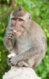 Macaque eating an apple in Bali, Indonesia Stock Photo