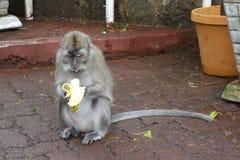 Macaque eating a banana. Mauritius Island Royalty Free Stock Image