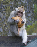 Macaque Eating Coconut in the Monkey Forest, Ubud Bali Stock Photo