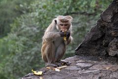 Macaque Eating Stock Photography