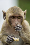 A macaque eating Royalty Free Stock Photos