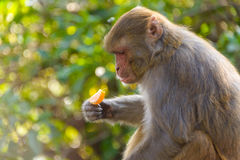 Macaque eating an orange Stock Photos