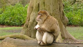 Macaque eating stock video footage