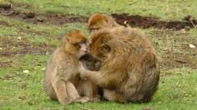 Macaque eating stock video