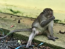 Macaque eats holding something in his hands and eats food while sitting in the Park. Macaque eats holding something in his hands and eats food while sitting royalty free stock photography